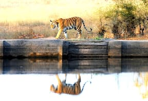 Wildlife Safari at Bandhavgarh Jungle Lodge,Bandhavgarh